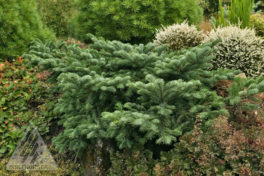 Abies amabilis spreading star jardin scullion for Jardin scullion