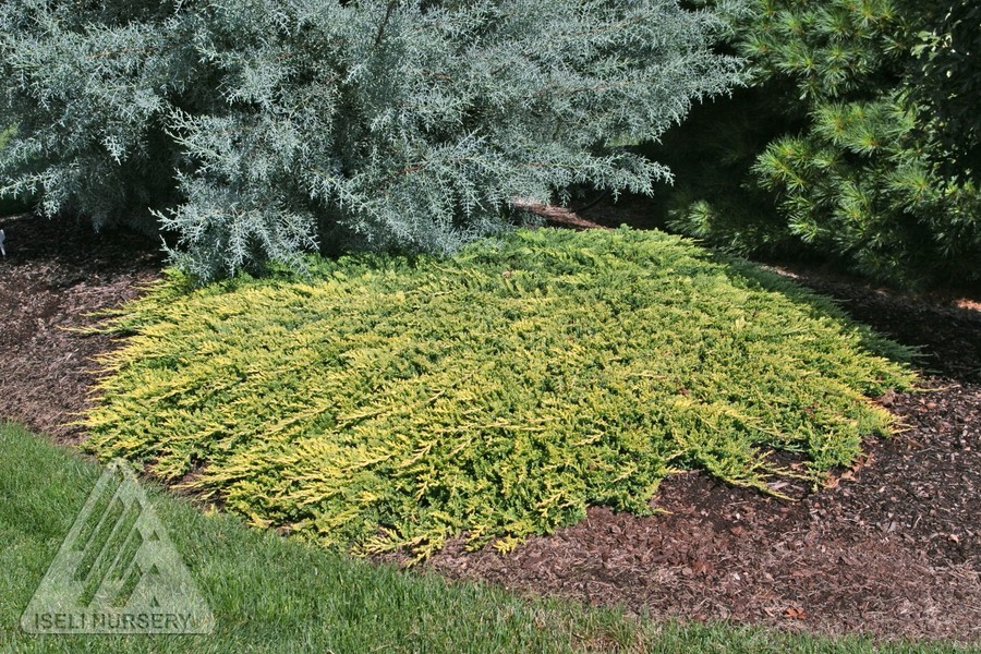 Jardin Scullion Of Juniperus Horizontalis Golden Carpet Jardin Scullion