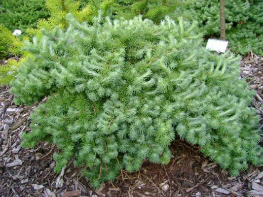 Larix kaempferi wehien jardin scullion for Jardin scullion