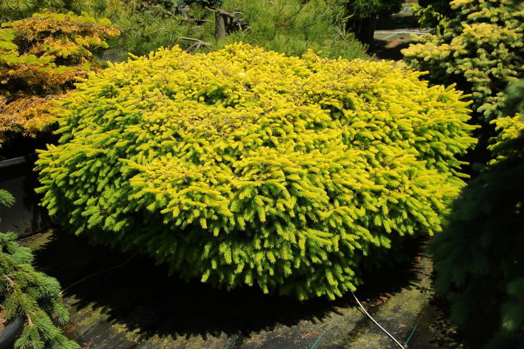 Picea abies vermont gold jardin scullion for Jardin scullion