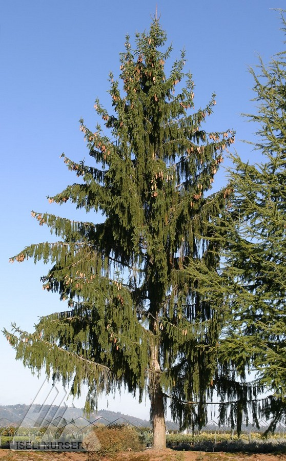 Picea abies pendula major jardin scullion for Jardin scullion