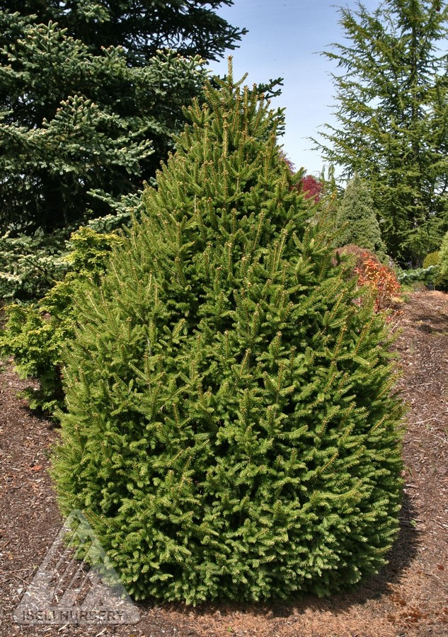 Picea abies sherwood compact jardin scullion for Jardin scullion