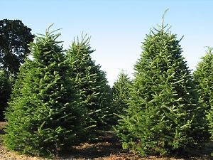 Abies balsamea jardin scullion for Jardin scullion