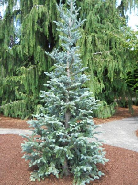 Abies balsamea tylor blue jardin scullion for Jardin scullion
