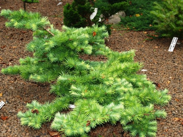 Larix kaempferi tunis jardin scullion for Jardin scullion