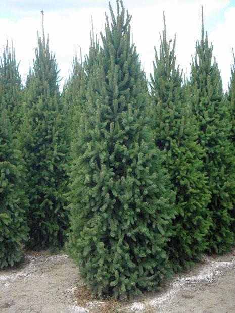 Français Picea Abies Fastigiata Compacta Jardin Scullion