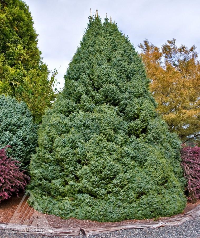 Jardin Scullion Of Picea Omorika Nana Jardin Scullion