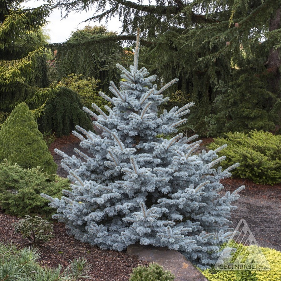 Jardin Scullion Of Picea Pungens Avatar Jardin Scullion