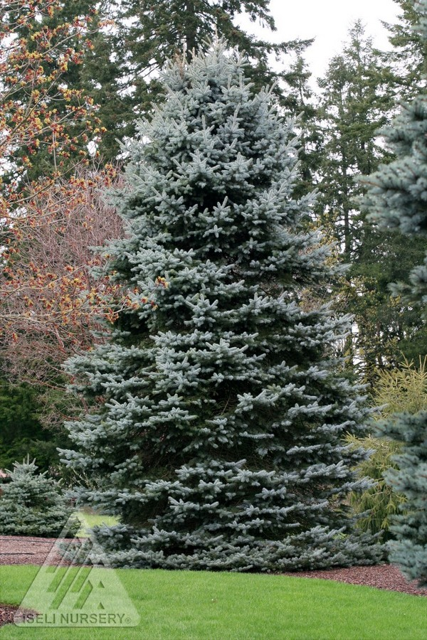 Picea pungens gail s skyline jardin scullion for Jardin scullion