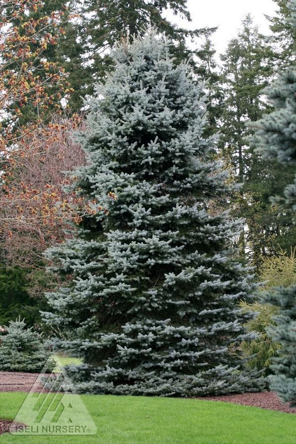 Jardin Scullion Of Picea Pungens Gail S Skyline Jardin Scullion