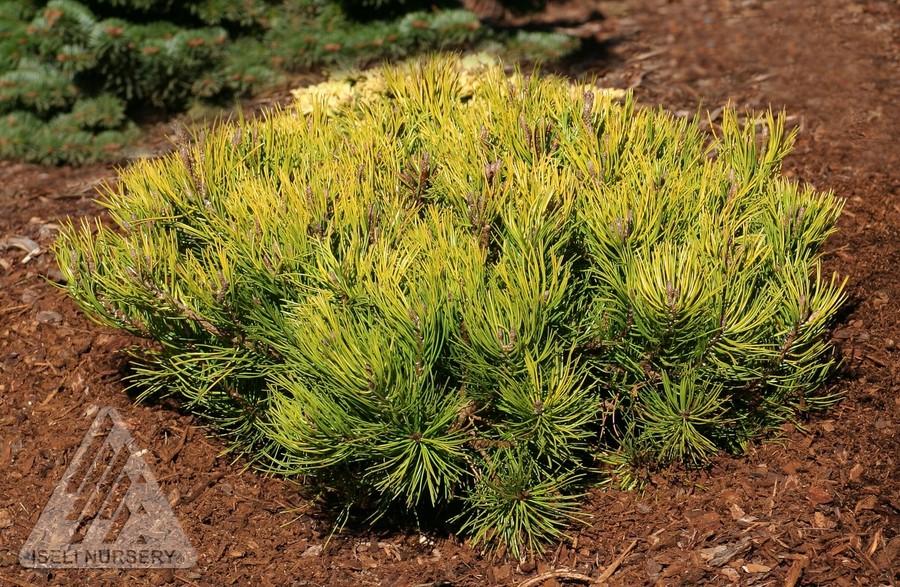 Jardin Scullion Of Pinus Mugo Aurea Jardin Scullion