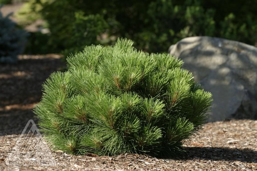 Pinus resinosa morel jardin scullion for Jardin scullion