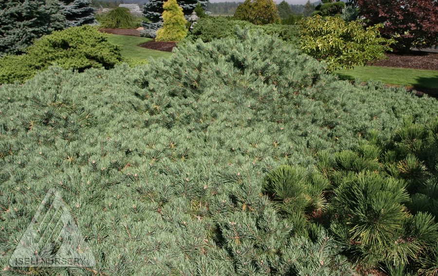 Jardin Scullion Of Pinus Sylvestris Albyn Prostrata Jardin Scullion