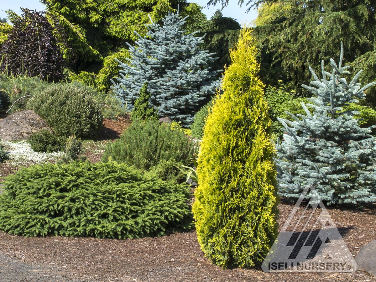Thuya occidentalis jantar jardin scullion for Jardin scullion