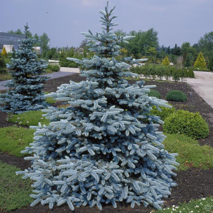 Jardin Scullion Of Picea Pungens Hoopsii Jardin Scullion