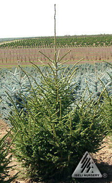 Picea purpurea jardin scullion for Jardin scullion