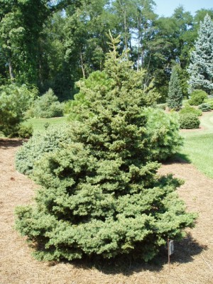 Picea rubens pocono jardin scullion for Jardin scullion