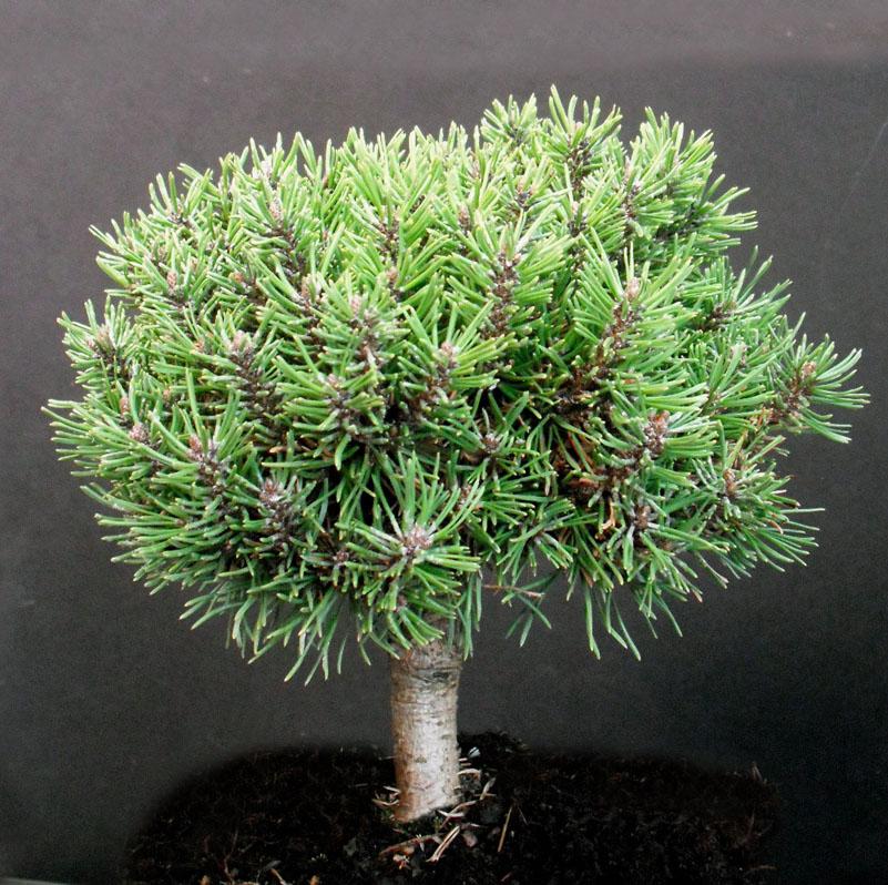 Pinus mugo subsp uncinata jezek jardin scullion for Jardin scullion