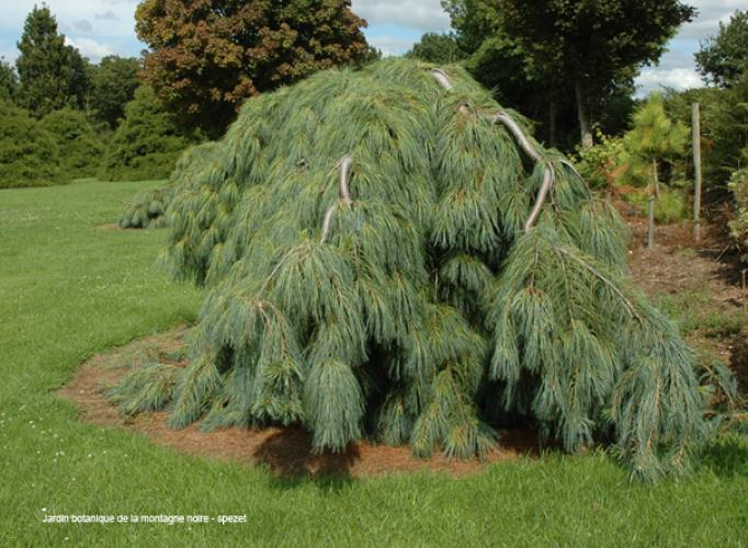 Pinus strobus pendula jardin scullion for Jardin scullion