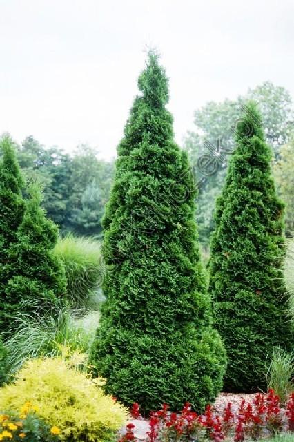 Thuya occidentalis holmsptrupi jardin scullion for Jardin scullion